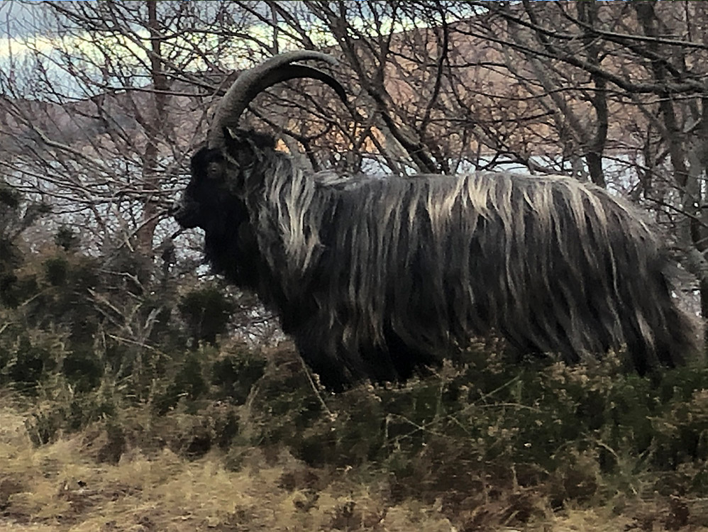 Feral Billy Goat